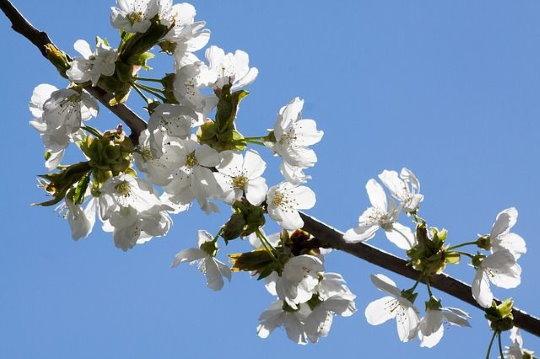 Sárgabarack virágzása